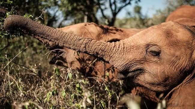 Populasi gajah Afrika mengalami kemerosotan, sekitar tahun 1900-an jumlah gajah di Akfrika diperkirakan masih jutaan ekor namun kini hanya sekitar 415 ribu ekor.