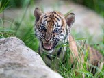 Intip Lucunya 3 Anak Harimau Sumatera yang Lahir di Sydney