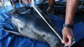 Diperkirakan mamalia laut ini mampuhidup hingga usia 22 sampai 25 tahun.
