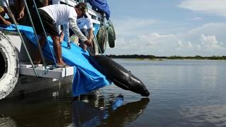 FOTO: Menyelamatkan Duyung Amazon