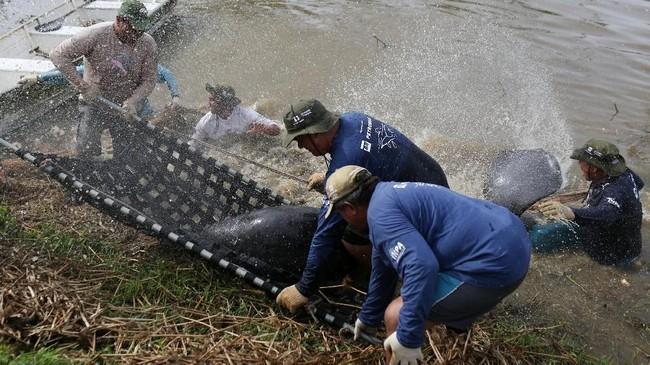 Para peneliti dariAmazonian Aquatic Mammals Project, memindahkan Duyung Amazon dari tepi Sungai Solimoes menuju area karantina sebelum dilepaskan ke habitatnya di Manacapuru, Brasil.