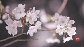 VIDEO: Pesona Bunga Sakura di Malam Hari