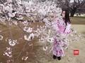 VIDEO: Ribuan Wisatawan Nikmati Musim Mekar Bunga Sakura