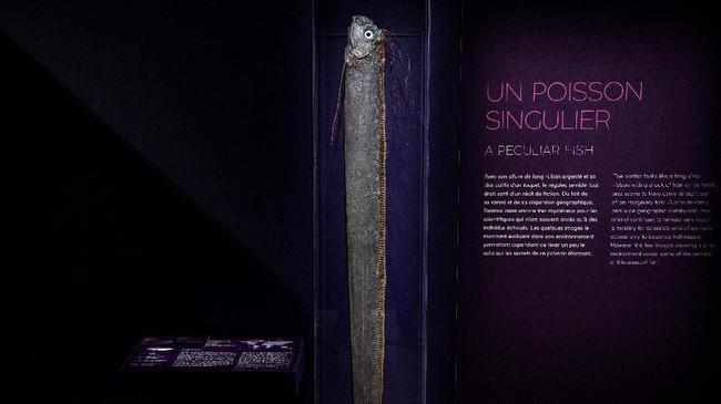 Seekor ikan oarfish raksasa ditampilkan dalam pameran tersebut. (Christophe ARCHAMBAULT / AFP)