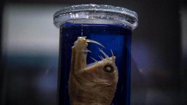 Pameran ini pun menampilkan viperfish yang sudah diawetkan. (Photo by Christophe ARCHAMBAULT / AFP)