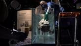 Seorang taxidermist atau orang yang berhubungan dengan teknik 'menghidupkan' hewan mati sedang memasang Coelacanth di tangki yang berisi formol. (Christophe ARCHAMBAULT / AFP)