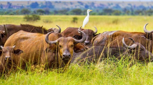 Penculikan Turis Usai, Presiden Uganda Nyatakan Negara Aman