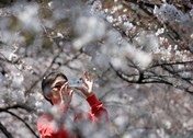 Indahnya Bunga Sakura Terhampar dari Jepang sampai Amerika