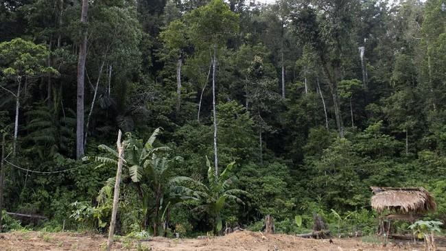 Lahan perkebunan milik suku Polahi. Suku Polahi diduga melarikan diri dan mengasingkan diri di dalam hutan sejak zaman penjajahan belanda. (ANTARA FOTO/Adiwinata Solihin)