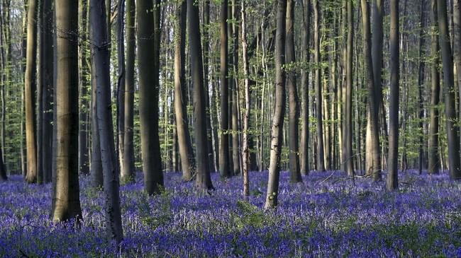Bunga Lonceng Biru yang mekar pada pertengahan April seolah terlihat menjadi karpet yang membirukan hutan Hallerbos di Halle, Belgia. (REUTERS/Yves Herman)