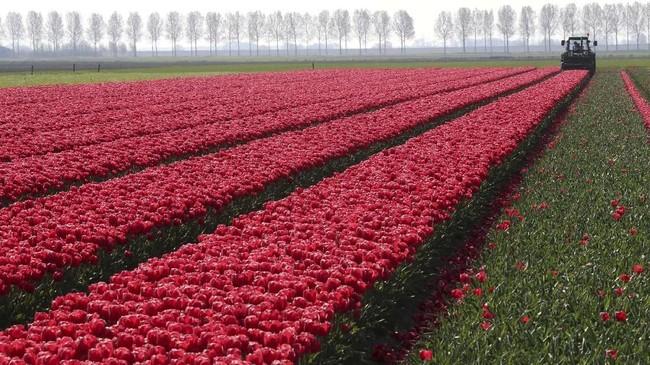 Petani Bunga Tulip di Creil, Belanda, terlihat sedang merawat kebunnya. (REUTERS/Yves Herman)
