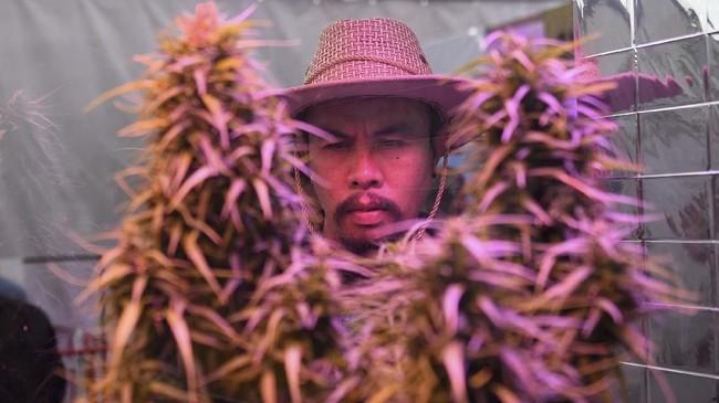Seorang pria melihat tanaman ganja yang dipamerkan di festival ganja Pan Ram, 19 April 2019. (AFP/Lillian SUWANRUMPHA)