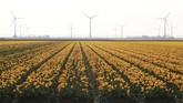 Bunga Tulip berwarna kuning yang bermekaran di Crell, Belanda. (REUTERS/Yves Herman)