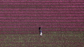 FOTO: Mekar Tulip di Negeri Kincir Angin