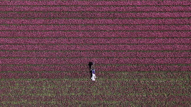 Pemandangan kebun Bunga Tulip di Creil,Belanda. (REUTERS/Yves Herman)