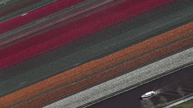 Direktur Badan Pariwisata Belanda Jos Vranken mengatakan kalau musim mekar Bunga Tulip mendatangkan keuntungan bagi industri pariwisata negara. Ia berharap Belanda bisa mengantungi 300 juta euro dari kedatangan turis Bunga Tulip. (REUTERS/Yves Herman)