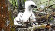 Garuda si 'Penguasa Langit Jawa' Menetas di Gunung Pangrango