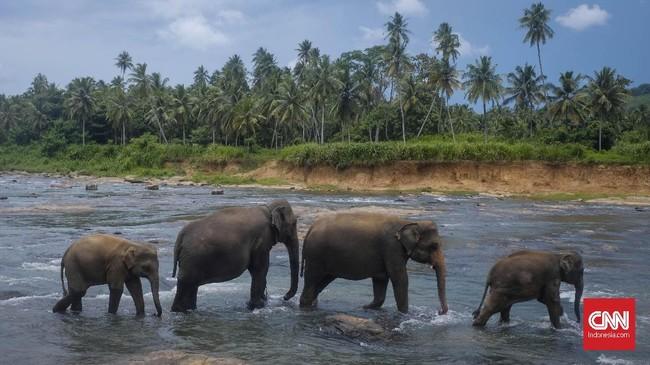Panti asuhan khusus gajah yang juga dibuka sebagai objekwisata di Sri Lanka. Berada di Desa Pinnawala dan sekitar enam jam dari Kolombo, pengunjung bisa menikmati kawanan gajah di habitat aslinya yang berada di tepi Sungai Maha Oya. Waktu terbaik untukdatang adalah pagi hari. (CNNIndonesia/Safir Makki)