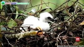 VIDEO: Mengintip Lahirnya Elang 'Garuda' di Gede Pangrango