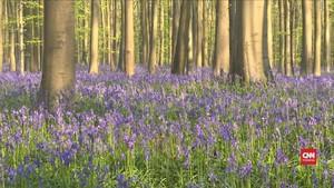 VIDEO: Keindahan Hutan Biru Keunguan di Belgia