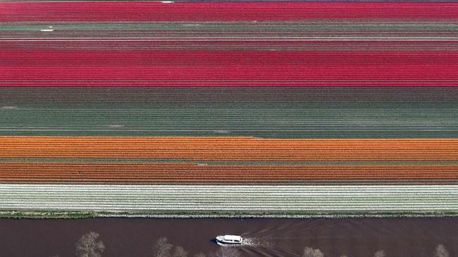 Foto udara dari perkebunan bunga tulip di dekat kota Creil, Belanda. (REUTERS/Yves Herman)