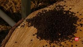 VIDEO: Wabah Kumbang Kulit Kayu Ancam Hutan Cemara di Eropa