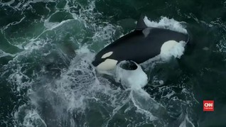 VIDEO: Orca Serang Paus Abu-abu di Perairan California
