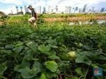 Jeritan Suara Petani Timun Suri Saat Cuaca Buruk