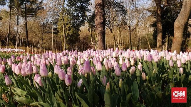 Bunga Tulip di Taman Emirgan. Tulip sebenarnya berasal dari Turki, lalu bibitnya disebar ke berbagai negara. Bunga ini biasanya mekar pada Maret-April. (CNNIndonesia/Agustiyanti)