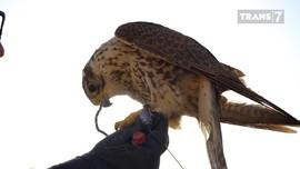 VIDEO: Burung Alap-alap, Pemburu Ulung yang Setia