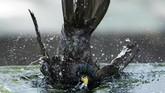 Seekor burung mandi di suatu air mancur di Manhattan, New York, Amerika Serikat. (REUTERS/Carlo Allegri)