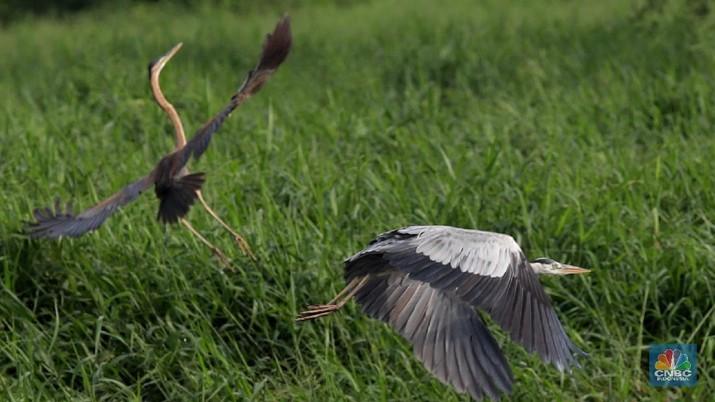 Migrasi Burung Dunia, Begini Penampakan dari Kawasan Angke