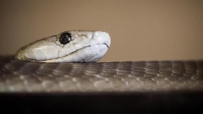 Gigitan ular membunuh setidaknya 120 ribu orang per tahun dan melukai ribuan orang lainnya. (Nick Ballon/Wellcome/via REUTERS)