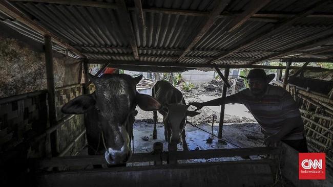 Usaha ternak sapi yang dimiliki warga kini tak lagi bisa dijadikan pencaharianseperti dulu, akibat lahan yang menyusut setelah tergusur pembebasan tanah tol tahap ll. (CNNINdonesia/Adhi Wicaksono).