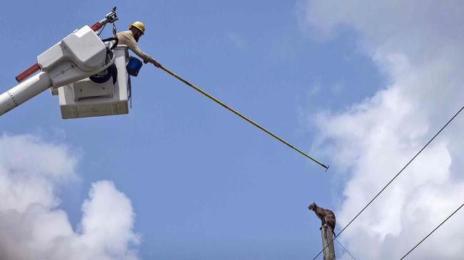 Seorang pekerja berusaha untuk mencolek seekor kucing liar agar ia bergerak turun dari tiang listrik di suatu jalan bebas hambatan di dekat Taman Satwa Liar Florida Panther. (Jon Austria/Naples Daily News via AP)