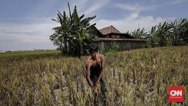Mayoritas warga sebagai petani mengeluhkan sulitnya membawa hasil panen akibat akses jalan yang semakin jauh paska pembangunan jalan tol. (CNNINdonesia/Adhi Wicaksono).
