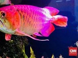Jualan Ikan Arwana, Saham Emiten Ini Melonjak 24% Sehari