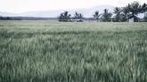 Hamparan sawah hasil kerja paksa para tahanan politik di Savana Jaya, Pulau Buru. Dengan alat seadanya para tapol bisa membuka lahan persawahan yang diperkirakan mencapai 2.500 hektare. (ANTARA FOTO/Hafidz Mubarak A)