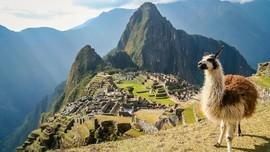 Mengakrabi Llama di Peru