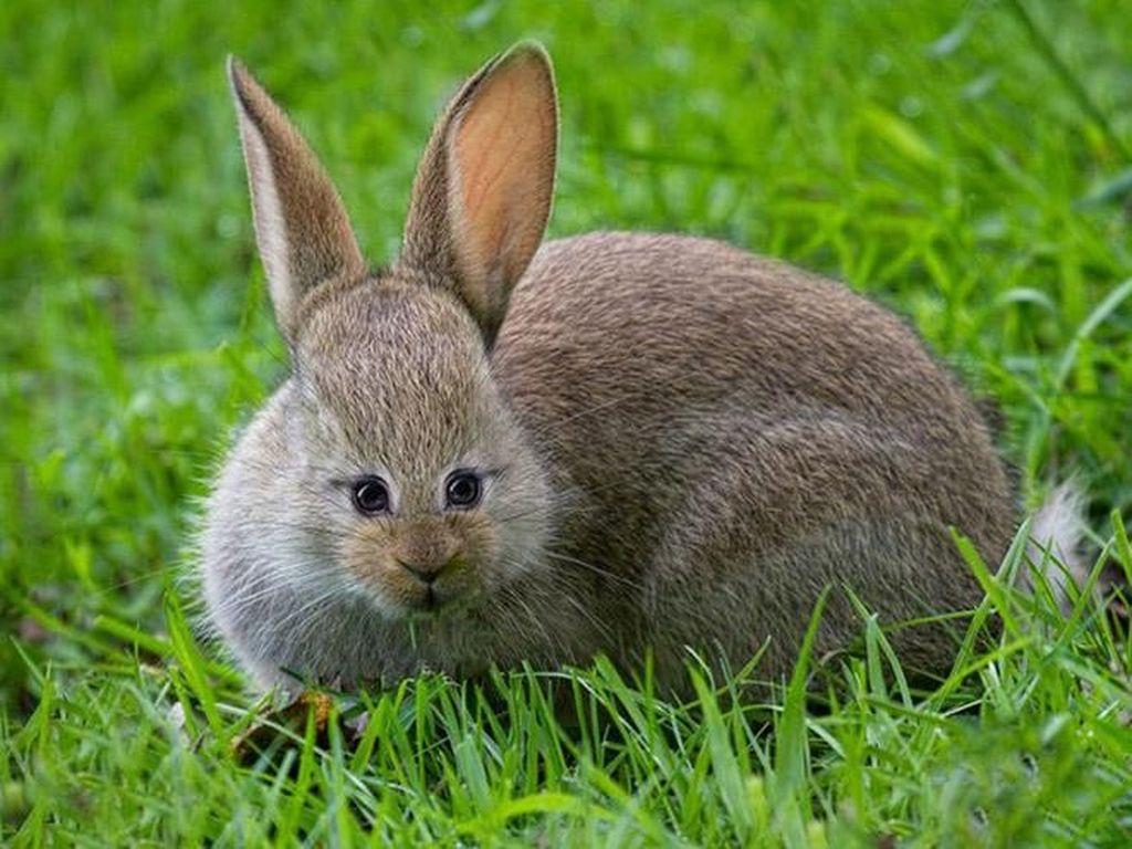 Kelinci kalau mata di depan imut apa aneh? Foto: sadanduseles