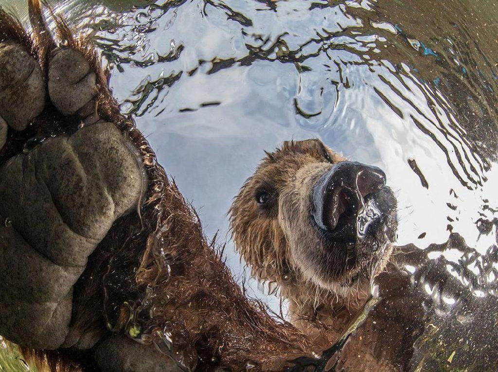 Juara di kategori Terrestrial Wildlife diraih oleh Mike Korostelev dari Rusia. Dia memotret beruang yang dilihat dari dalam air. Foto: bigpicturecompetition