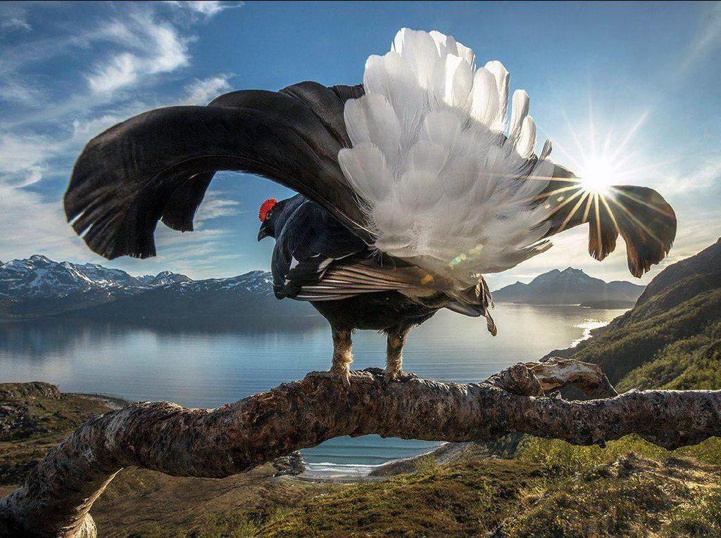 Grand Prize diraih oleh Audin Rikardsen dari Norwegia yang menampilkan aksi burung grouse hitam. Foto: bigpicturecompetition