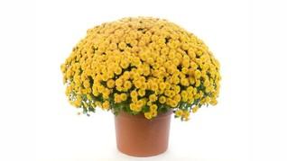 Archie Harrison Diabadikan Jadi Nama Bunga Krisan Kuning
