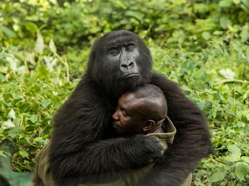 Juara di kategori Human/Nature diraih James Gifford dari Botswana. Dia memotret gorila yang berpelukan dengan petugas di Senkwekwe Center, Virunga National Park, Congo. Foto: bigpicturecompetition