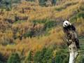 Panda Albino Pertama Ditemukan di Hutan China
