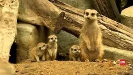 VIDEO: Kebun Binatang Thailand Sambut Kelahiran Anak Meerkat