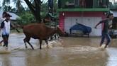 Warga menyelamatkan ternak sapinya setelah terjebak di lokasi banjir bandang di Desa Anggopiu, Konawe, Sulawesi Tenggara, Senin (10/6). (ANTARA FOTO/Jojon)