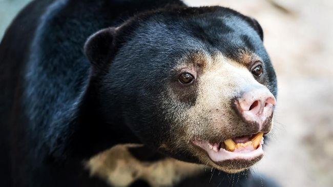BKSDA Cek Kesehatan Beruang Madu Kurus Kering di Singkawang