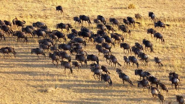 Bersiap Saksikan 'Drama' Migrasi Hewan di Maasai Mara