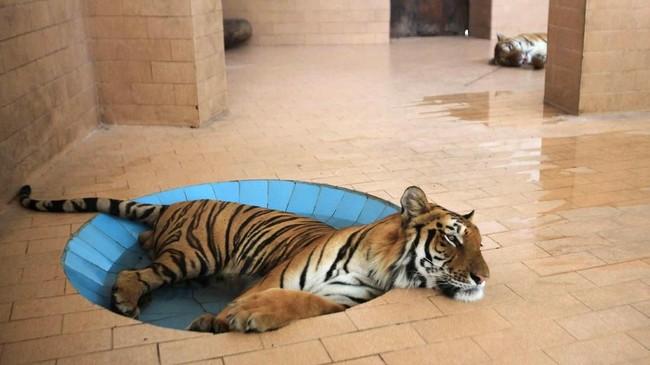 Pada suatu hari yang panas dan lembab di Lahore, Pakistan, seekor harimau berbaring di kolam di dalam kurungan di kebun binatang. (Reuters/Mohsin Raza)